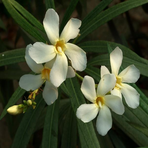 Kaner, Nerium Oleander (White, Single) - Plant