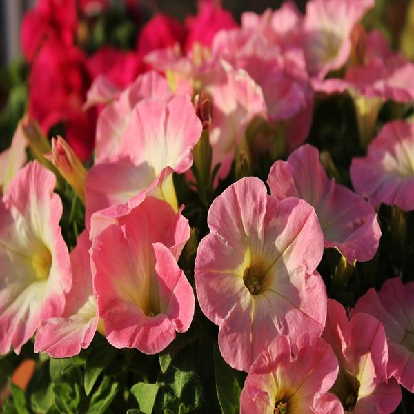 Petunia (Baby Pink) - Plant