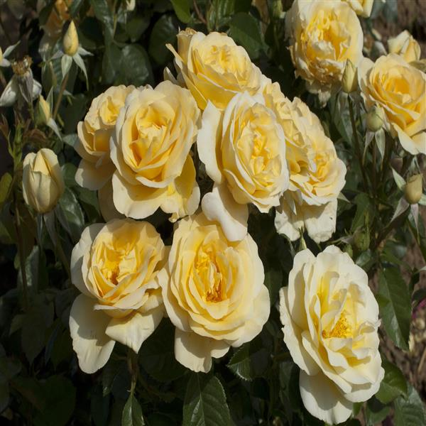 Rose (Yellow-White) - Plant