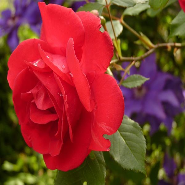 Rose (Red) - Plant
