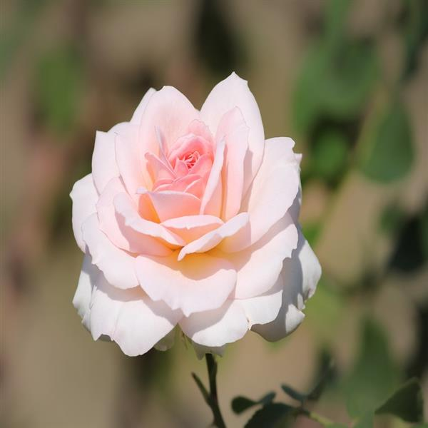 Rose (Pink White) - Plant