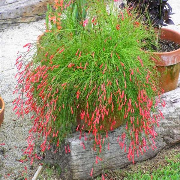 Russelia (Red) - Plant