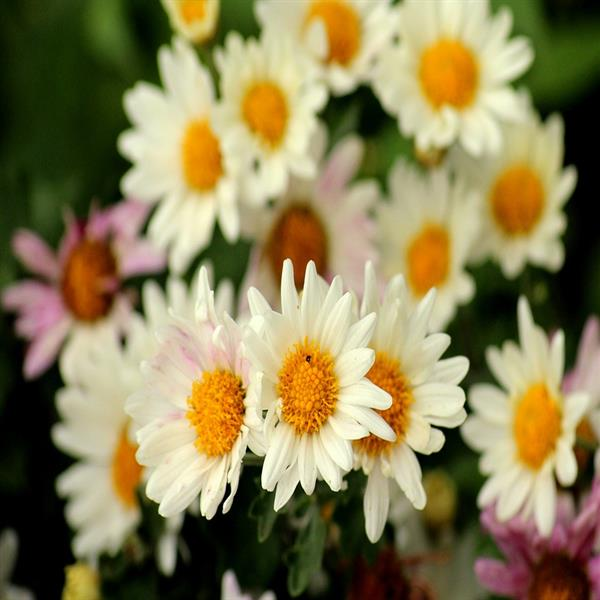 Shevanti, Chrysanthemum (sunflower white) - Plant