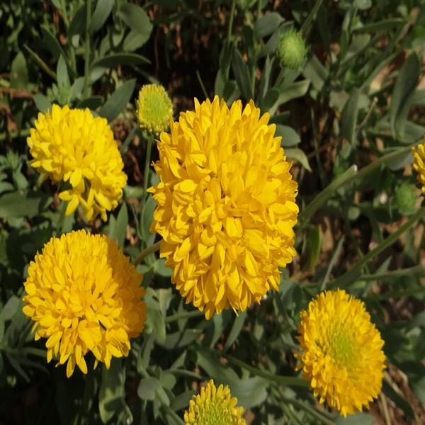 Shevanti, Chrysanthemum (Yellow) - Plant