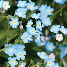 Load image into Gallery viewer, Love Seedbom Forget-me-not
