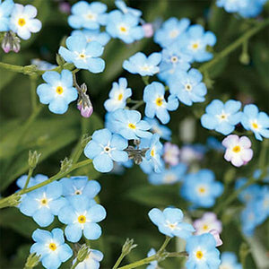 Love Seedbom Forget-me-not