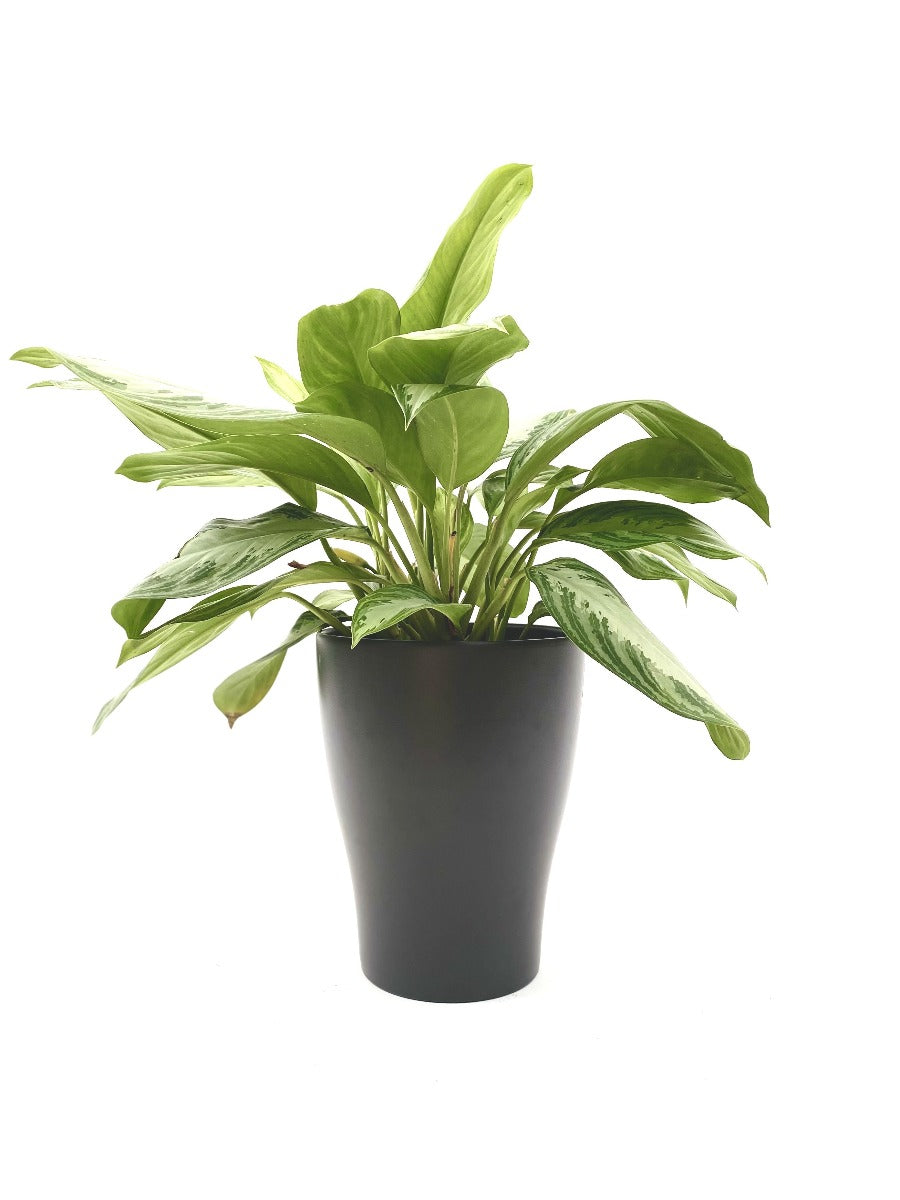 Aglaonema in Alexa Planter