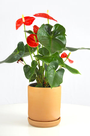 Anthurium Orange
