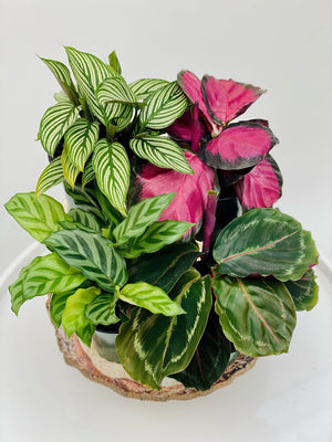 Calathea Bundle Pack