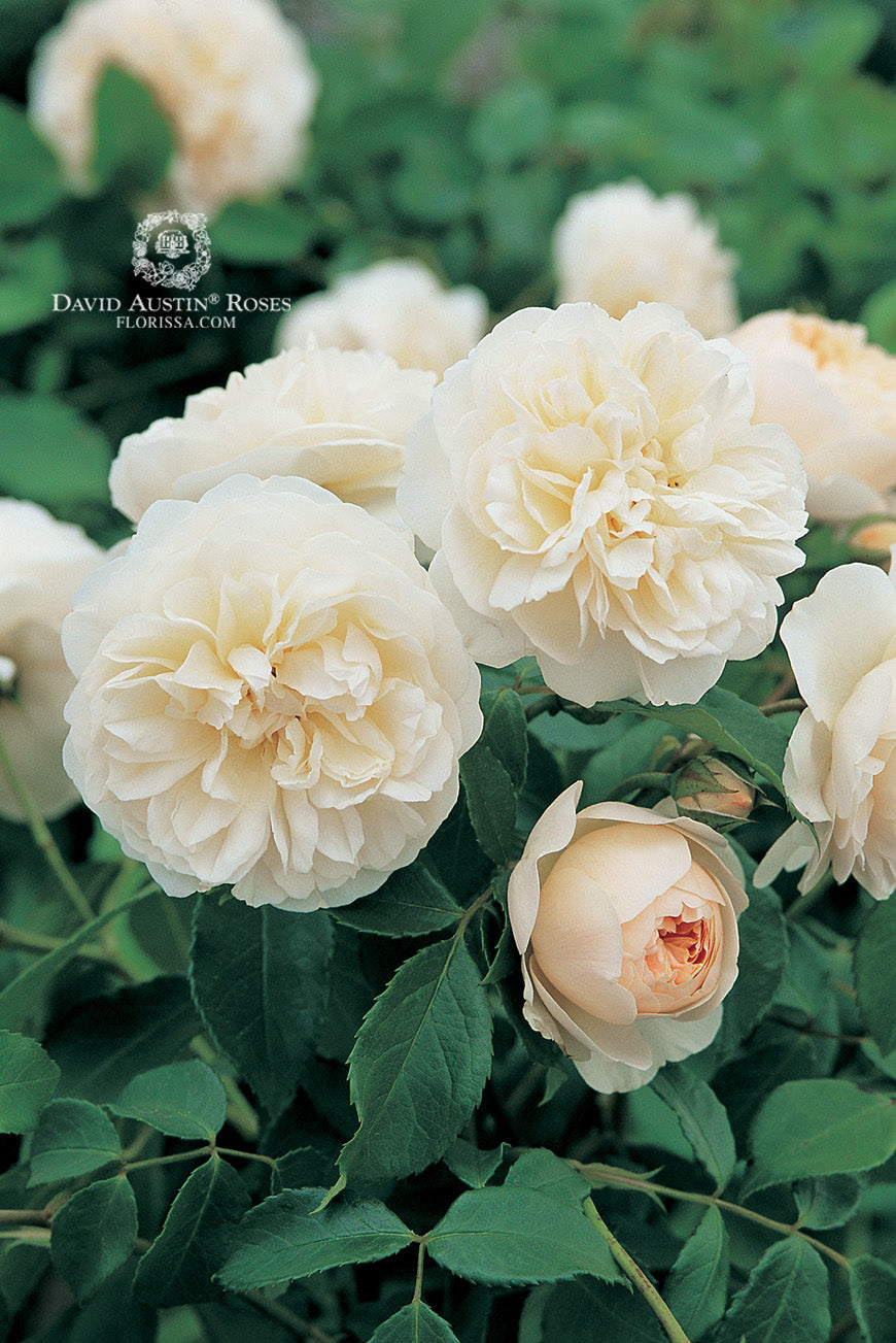 David Austin Rose Lichfield Angel - SOLD OUT