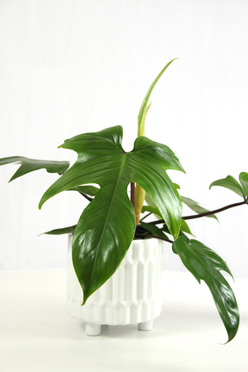 Philodendron Rudolph