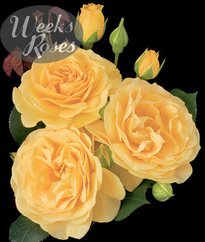 Weeks Roses Julia Child
