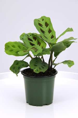 Maranta Prayer Plant Green