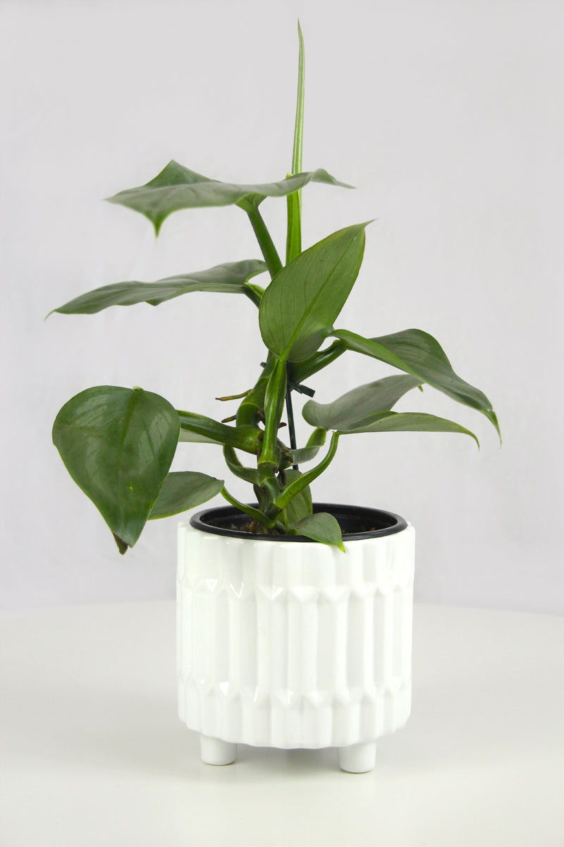 Philodendron Hastatum Grey