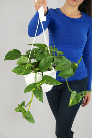 Pothos Golden Hanging Planter
