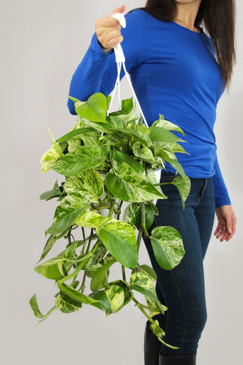 Marble Queen Pothos Basket
