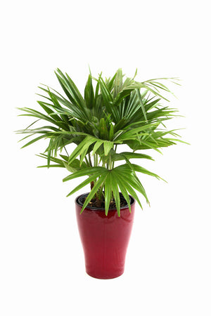Scheurich Alexa Planter - Red