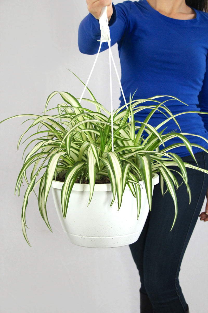 Spider Plant Hanging Planter