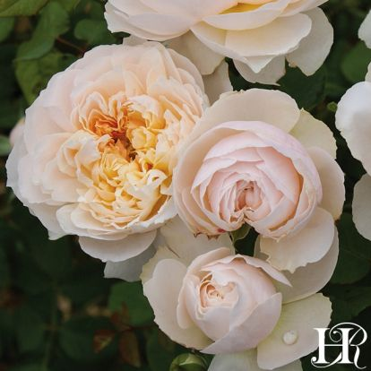 Clean N Easy Roses 'Moonlight in Paris'