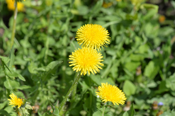 Herb in Focus Dandelion
