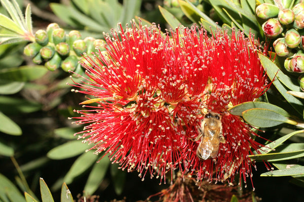 Flower Essences Bottlebrush
