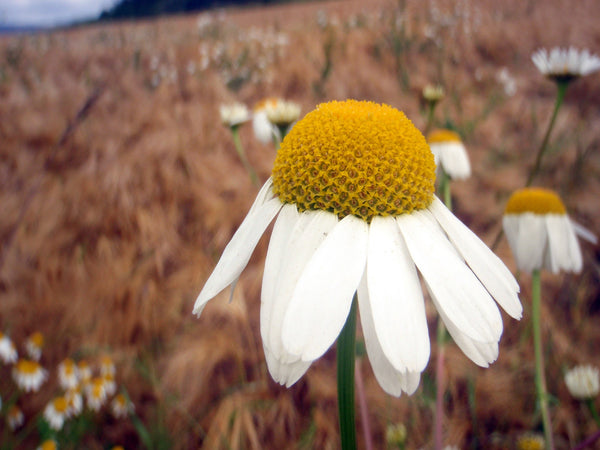 Herb in Focus Chamomile