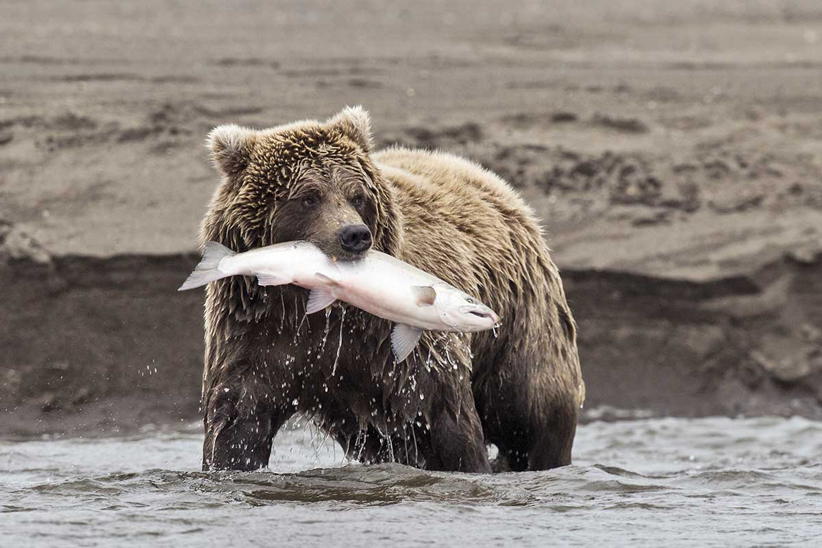 A bear fishes for salmon