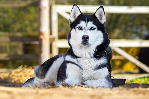 10 choses que seules les Husky Mom comprennent - Husky Mom