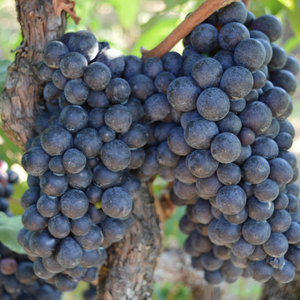 Types of wines: top grape varieties we grow in England
