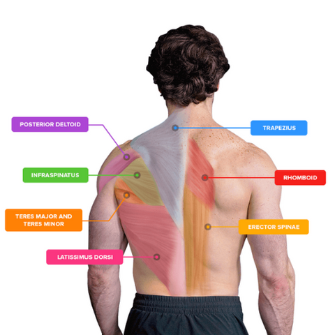 back muscles labelled diagram