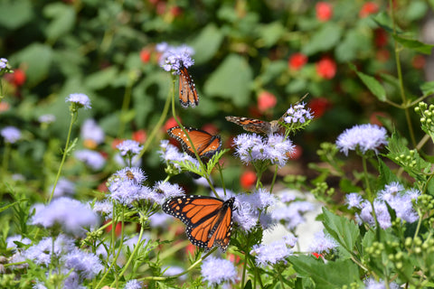 Butterflies on Gregg's Mistflower
