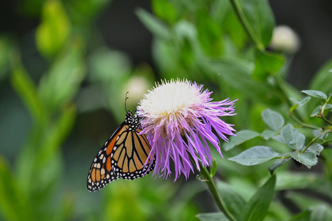 Monarch on American Basketflower