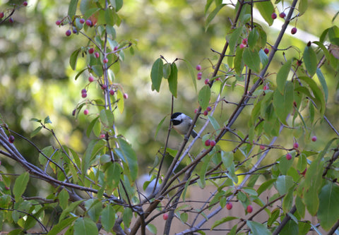 Chickadee on Rusty Blackhaw Viburnum