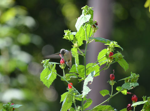 Hummingbird on Turk's Cap