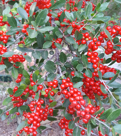 Yaupon holly (Ilex vomitoria)