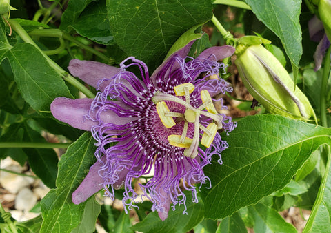 Passion flower 'Inspiration' (Passiflora incarnata x cinnicata hybrid 'Inspiration')