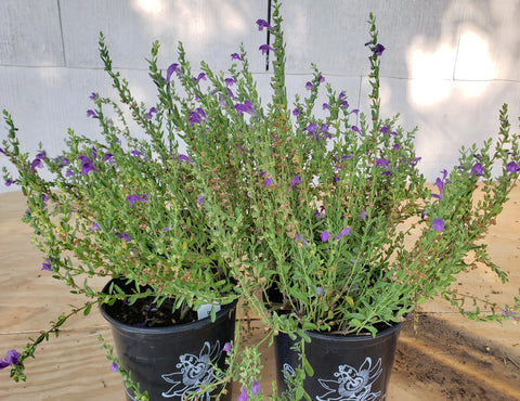 Scutellaria wrightii (Purple Skullcap)