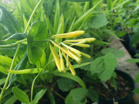 Lonicera sempervirens 'Sulphurea' (Yellow Honeysuckle)