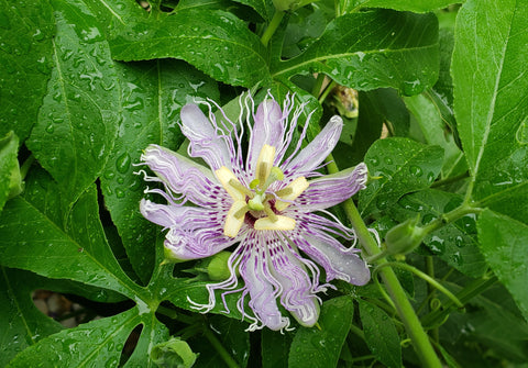 Passiflora incarnata (Purple Passion Flower)