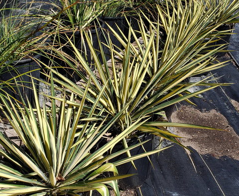 Yucca filamentosa ''Color Guard' (Adam's Needle Yucca 'Color Guard')