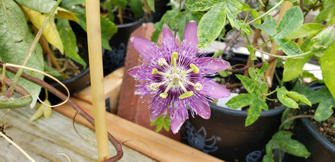 Passiflora incarnata x cinnicata hybrid (Purple Passion Flower 'Purple Passion')