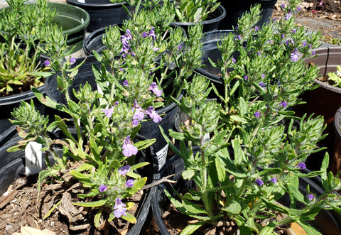 Salvia texana (Blue Texas sage)