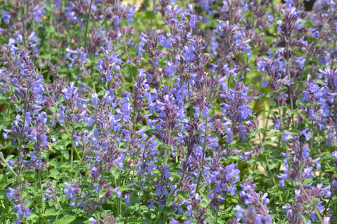 Catmint 'Walker's Low' (Nepeta x faassenii 'Walker's Low')