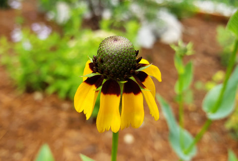 Clasping Coneflower (Dracopis amplexicaulis)