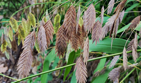 Inland sea oats (Chasmanthium latifolium)