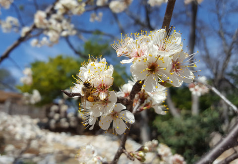 Mexican plum (Prunus mexicana)