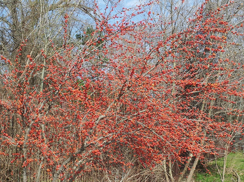 Possumhaw holly (Ilex decidua)