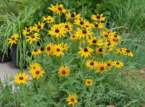 Brown-Eyes Susan (Rudbeckia hirta)