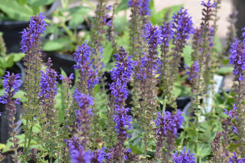 Meadow sage 'May Night' -  Salvia × sylvestris 'May Night'