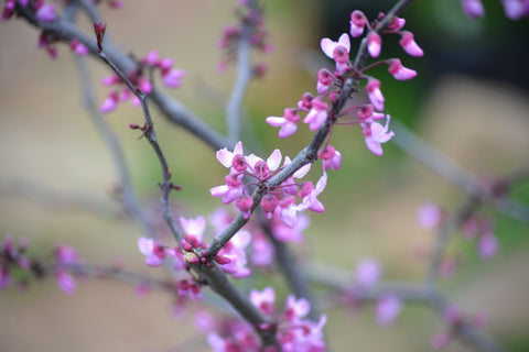 Texas Redbud (Cercis canadensis L. var. texensis)